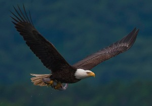 2010-bald-eagle-with-fish